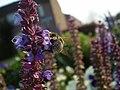 Salvia farinacea 0.9 R.jpg