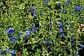 Salvia pratensis 'Skyline' in Jardin des Plantes de Toulouse 02.jpg