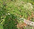 Sambucus canadensis W IMG 3149.jpg