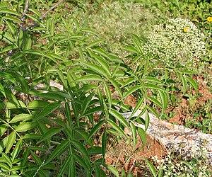 Sambucus canadensis - Sambucus canadensis foliage