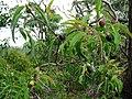 Santalum freycinetianum (5209506919).jpg