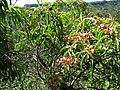 Santalum freycinetianum (5210115376).jpg