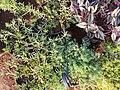 Satureja hortensis 2.jpg