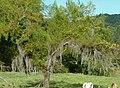 Sauce llorón (Salix babilonica) (14507352460).jpg
