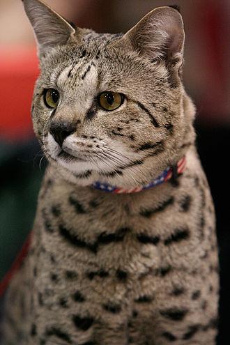 Savannah cat - A 20-pound (9 kg) F2 Savannah