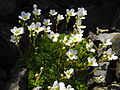 Saxifraga cebennensis 3.JPG