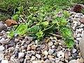 Saxifraga cuneifolia Variegata (4525198361).jpg