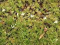 Saxifraga hypnoides01.jpg