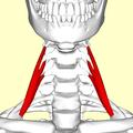 Scalenus anterior06.png