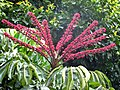 Schefflera actinophylla mauroguanandi.jpg