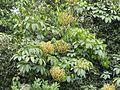 Schefflera wallichii, Pushpagiri WLS AJTJ P1110976.jpg