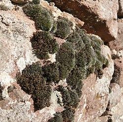 Schistidium apocarpum - Grimmia pulvinata 141007.jpg