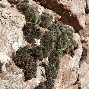 Schistidium apocarpum und Grimmia pulvinata