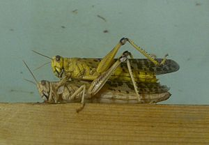 Desert locust - Desert locusts preparatory to mating, London Zoo