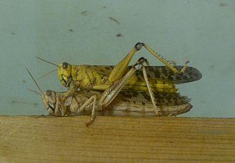 Desert locust - Desert locusts preparatory to mating, London Zoo
