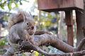 Sciurus lis in Inogashira Parl.JPG