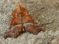Scoliopteryx libatrix01.jpg