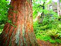 Scotland - Cawdor Castle - Cawdor Burn - Giant Sequoias - panoramio.jpg