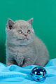 Scottish fold- straight 11.JPG