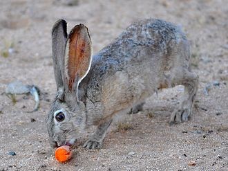 Black-tailed jackrabbit - Weathered adult black-tailed jackrabbit eating