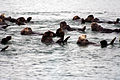 Sea otters at moss landing 2.jpg