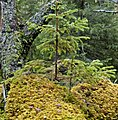 Seedling and moss on nurse log, Berge naturreservat omkullfallet liten tall (cropped).jpg