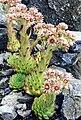 Sempervivum tectorum (1) 2 (ex Pyrenees).jpg