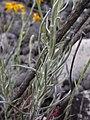 Senecio chilensis DSCN0919.jpg