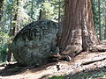 Sequoia National Park - Big Trees Trail - glacial erratic with Giant Sequoia growing around it.JPG