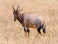 Serengeti Topi4.jpg