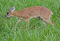 Sharpe's Grysbok (Raphicerus sharpei) male (11838525675).jpg