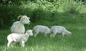 Wiltshire Horn - A Wiltshire Horn ewe and her triplets