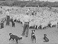 Sheep in a pen (AM 88028-1).jpg