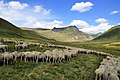 Sheep on the pastures, Shar Mountain.JPG