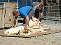 Sheep shearing - geograph.org.uk - 124841.jpg