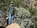 Shepherdia rotundifolia (8003260508).jpg