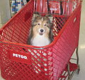 Shetland Sheepdog in Shopping Cart at Petco.jpg