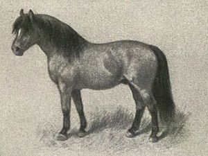 Shetland pony - A classic image of an ideal Shetland pony, Nordisk familjebok (Swedish encyclopedia), c. 1904–1926.