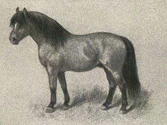 Shetland pony - A classic image of an ideal Shetland pony, Nordisk familjebok (Swedish encyclopaedia), c. 1904–1926.