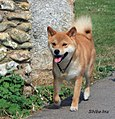 Shiba Inu dog.jpg