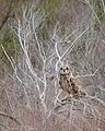 Short-eared Owl (50908759463).jpg