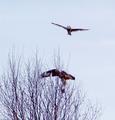 Short eared Owl mobbs Rough legged Hawk.png