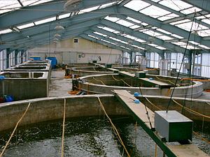 Fish hatchery - Tanks in a shrimp hatchery.