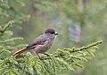 Siberian Jay (Perisoreus infaustus) 02.jpg