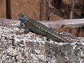 Sierra fence lizard (10304859106).jpg