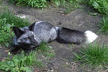 Silver fox (animal) - Wikipedia