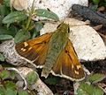 Silver-spotted Skipper, male. Hesperia comma - Flickr - gailhampshire (7).jpg