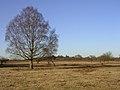 Silver birch on Matley Heath, New Forest - geograph.org.uk - 116392.jpg