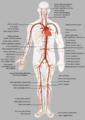Sistema Arterioso.png