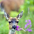 Sitka black-tailed deer with fireweed (6954233156).jpg